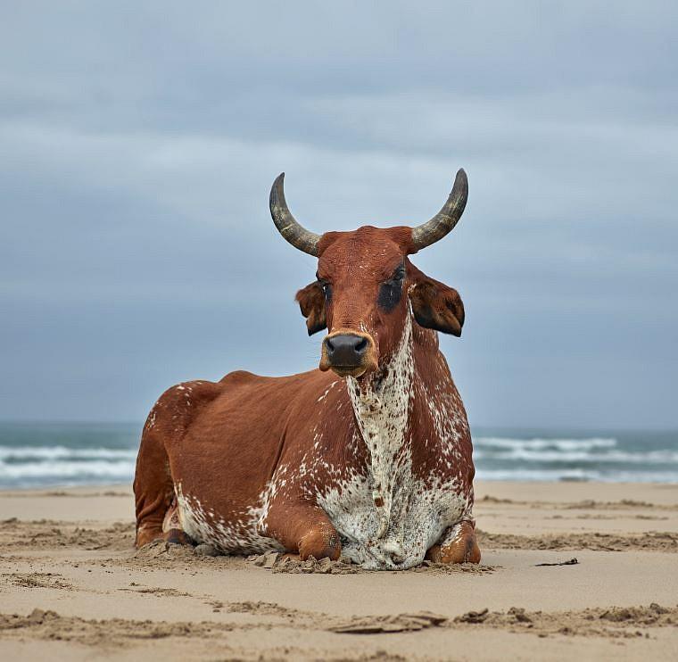 DANIEL NAUDÉ | Xhosa cow on the shore  Eastern Cape, South Africa, 6